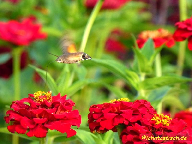 und nicht nur Menschen interessieren sich für die Blumen - hier ein Schwalbenschwänzchen!