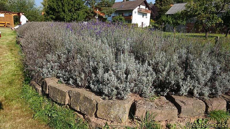 Das Lavendelfeld (leider schon etwas abgeblüht)